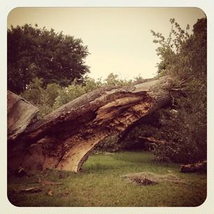 Fallen Oak (2/3)