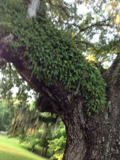 After a storm, resurrection fern fluffs up and becomes a green blanket on the live oaks.