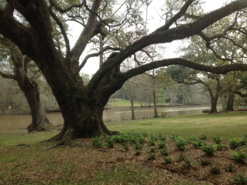 Grandmother oak on Bayou Teche