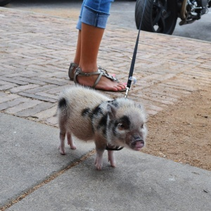 Three month old miniature potbelly pig