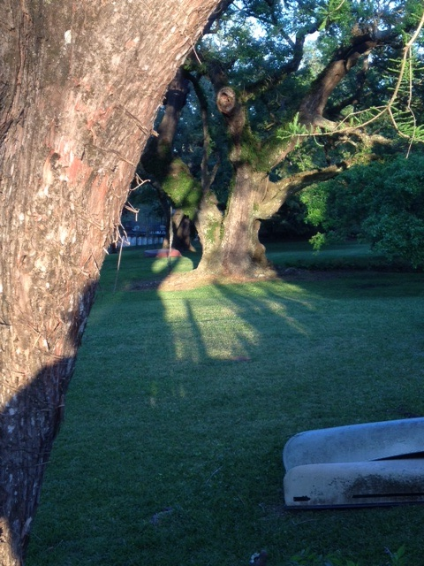 Setting sun elongates shadows and illuminates the grandmother oak.
