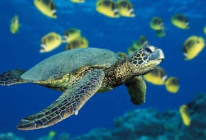 Green_Sea_Turtle_1