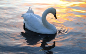 Swan Song, Creative Commons