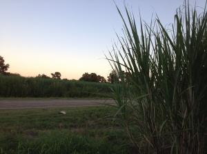 sugarcane 4