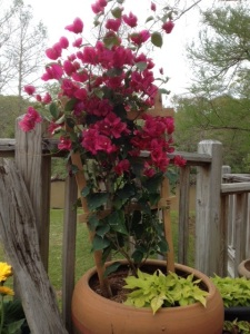 Red bougainvillea on my deck looking all perky and springy.