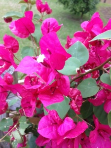 The actual flower of the bougainvillea is a small cluster of three white flowers in the center.