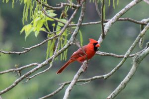 Cardinal photo by Chere Coen