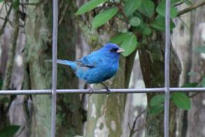 Indigo bunting photo by Chere Coen