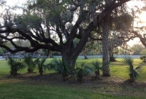 oak and palms