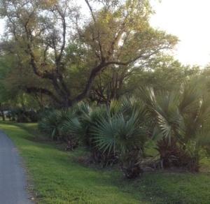 Palms growing on Avery Island.