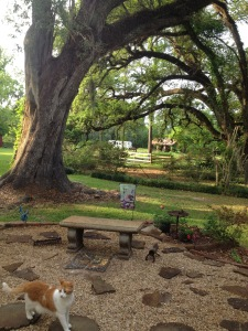 A draping oak at Belmont Plantation.  Photo by Vickie Sullivan.