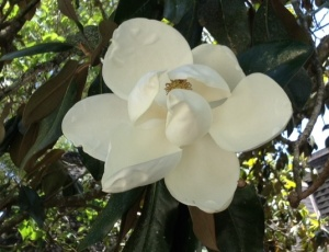 Magnolia, the Louisiana state flower.