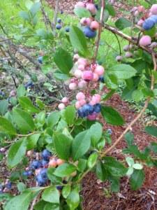 Bluenerry bush