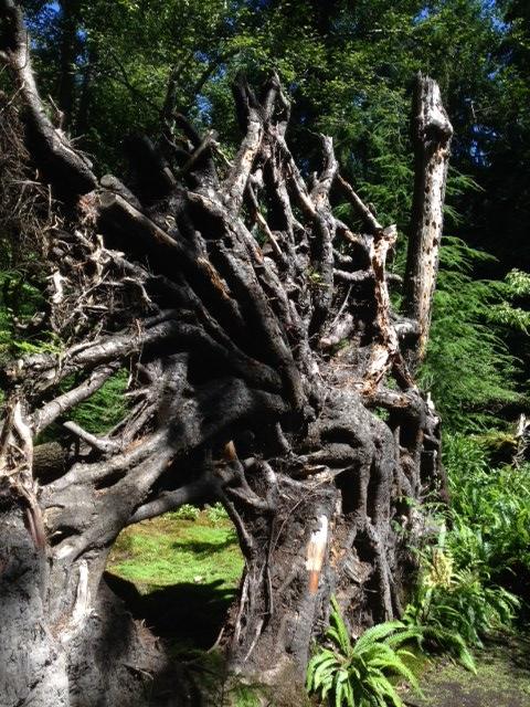 Even the root of the fallen hemlock becomes sculpture through God's eyes.