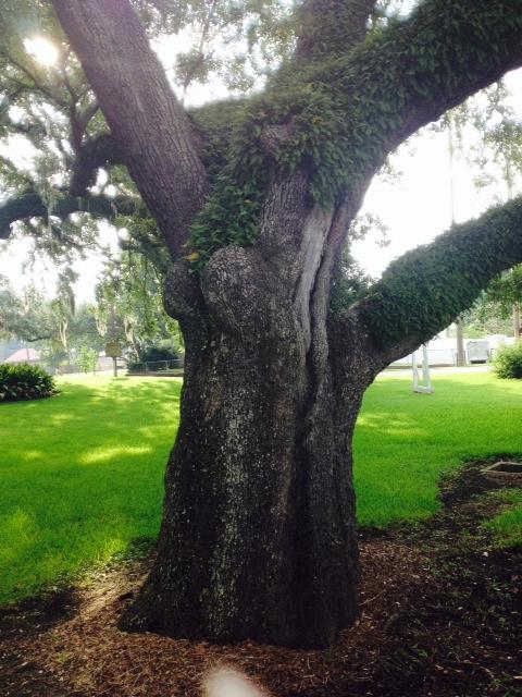 boob tree
