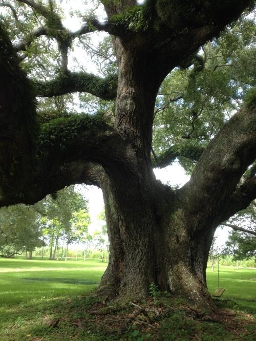 Bernard oak