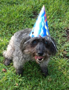 Charlie, a schnoodle, loves his birthday hat.  It lasted long enough for a photo after 3 tries.