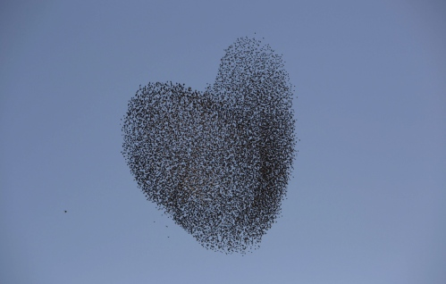 Migrating starlings, over the southern Israeli village of Tidhar, on February 12, 2014. (AP Photo/Oded Balilty)