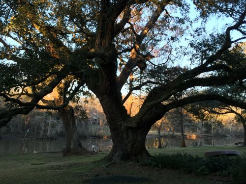 grandmother oak sunset