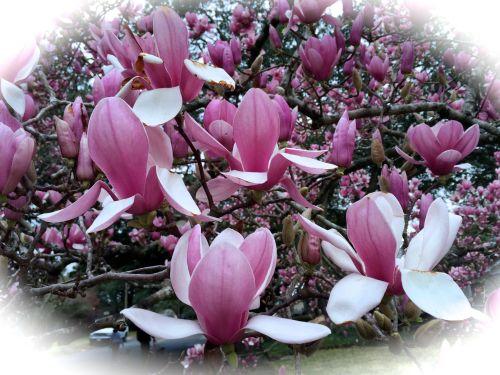 Japanese Magnolia 2