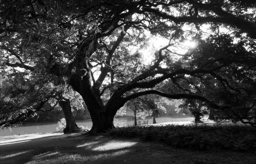 Grandmother Oak Morning