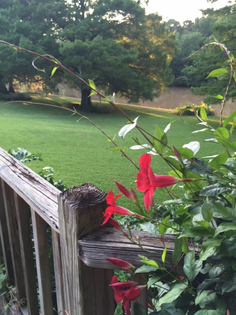 Enjoying the bright red mandevilla blooms.
