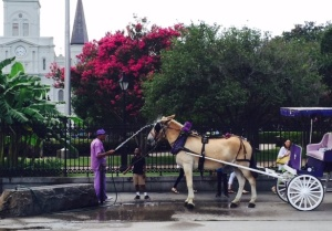 French Quarter carriage driver waters down his mule.
