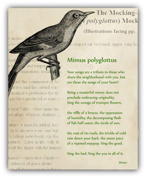 Mimus polyglottus copy