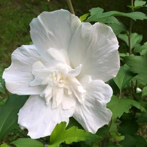 Rose of Sharon photo by Cynthia Lord