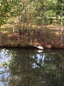 Morning walk in the park, a great egret in Devil's Pond.