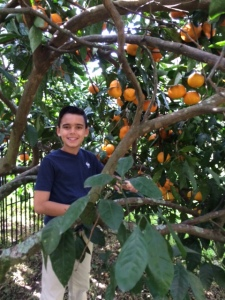 My nephew Jack climbs into the satsuma tree to harvest.
