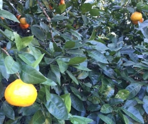 satsuma tree
