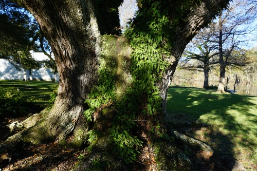 Being present is easy when the light shines on resurrection fern making shadows  to fascinate me.  --Margaret G Simon, OLW