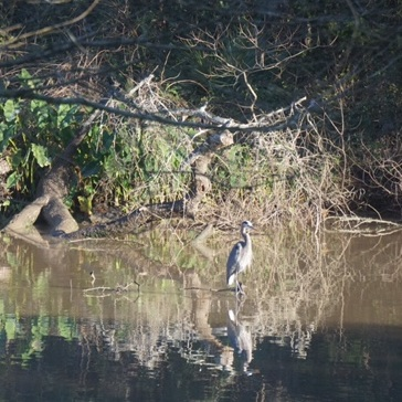 Bayou heron, Margaret Simon.