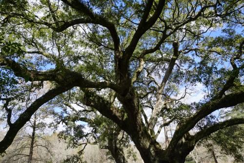 Live oak reaches out
