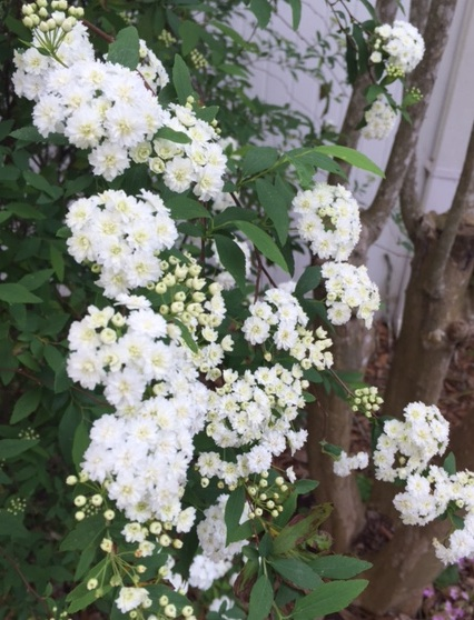 Bridal wreath flowers