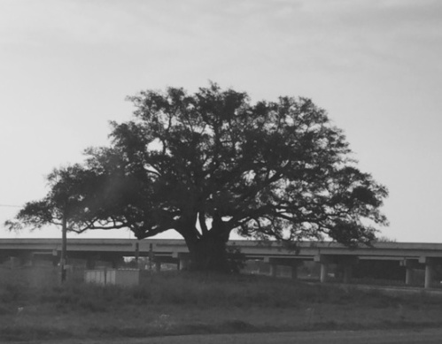 Mr. Al, an old oak near the highway
