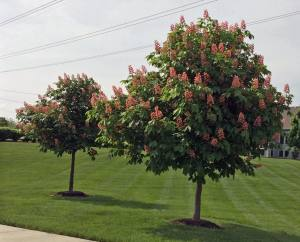 red buckeye mature