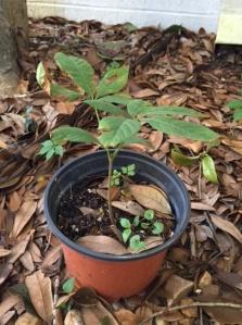 red buckeye seedling