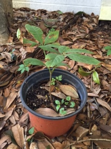 red buckeye seedling