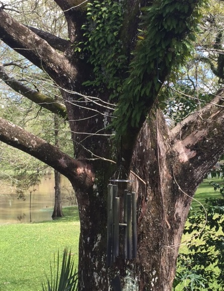 Resurrection fern on the old cypress.