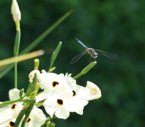 dragonfly eyes by Margaret Simon, all rights reserved