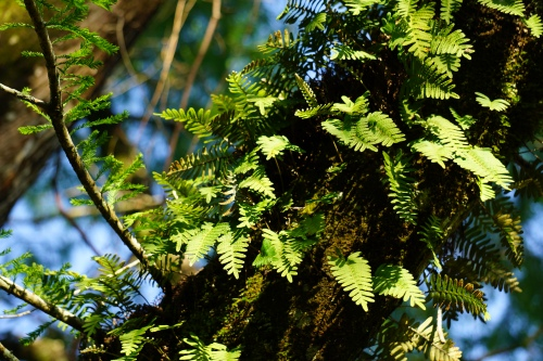 Resurrection Fern by Margaret Simon