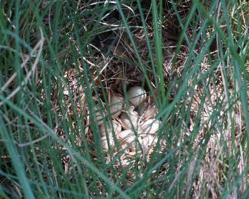 A mallard nest on the island.