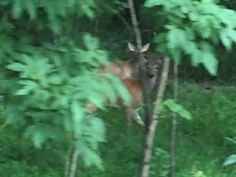 Deer in woods near New Castle Lake.