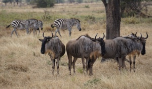 zebra with wildebeest