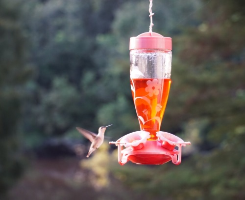 brian doyle essays hummingbird food