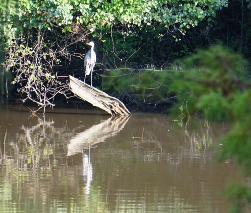 Bayou Teche blue heron, photo by Margaret Simon