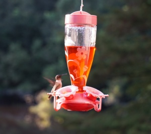 Hummingbird at the feeder in my backyard. Taken August 30th. Photo by Margaret Simon