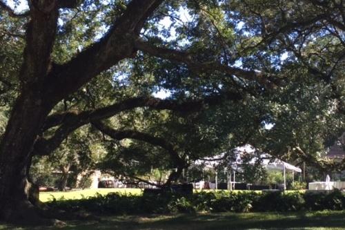 Peeking through the grandmother oak to the wedding prep next door.